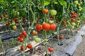 plástico acolchado en tomates