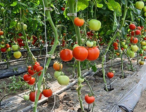 Técnica de acolchado agrícola o mulching en nuestros cultivos